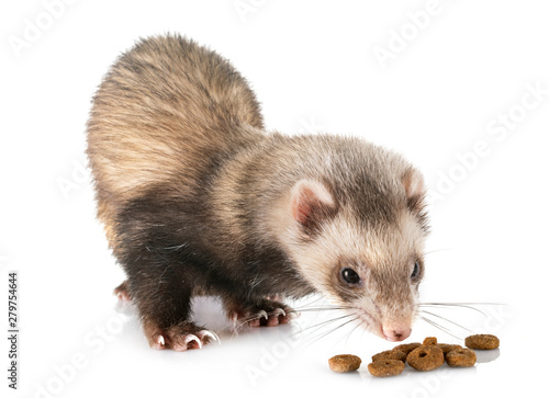 brown ferret in studio Fototapet