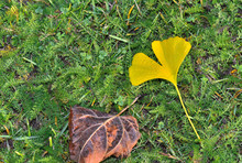 Top View On Yellow Leaf Of A Gingko And A Brown Leaf On The Grass In Autumn