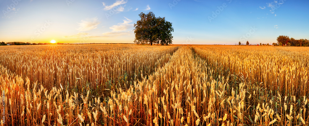 Fototapety, obrazy: Wheat field. Ears of golden wheat close up. Beautiful Rural Scenery under Shining Sunlight and blue sky. Background of ripening ears of meadow wheat field.