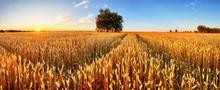 Wheat Field. Ears Of Golden Wh...