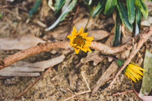 Yellow Gazania Daisies Surrounded By Leaves And Branches