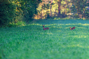 Obraz na płótnie Canvas Roe deer with fawn in meadow at sunrise.