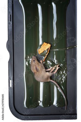 mouse trapped in glue tray Slika na platnu