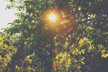 The Sun Shines Through The Leaves Of An Apple Tree. Orchard At Sunset Light. An Apple Tree In Summer. Nature Background