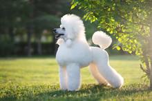 Portrait Of White Big Royal Poodle Dog
