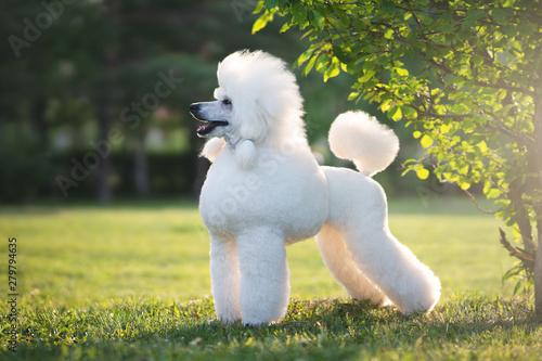 Portrait of White Big Royal Poodle Dog Poster Mural XXL