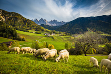 Dolomites Mountain Scenery With Grazing Sheep, Val Di Funes, South Tyrol. Italy