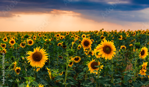 Poster Zonnebloem Blooming sunflower field at sunset time