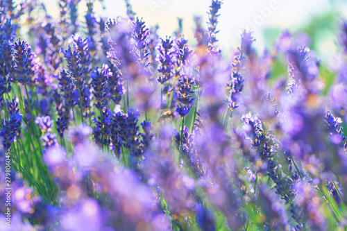 Fototapety, obrazy: Lavender blooms in summer in the field