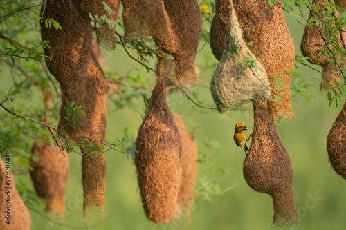 Baya weaver (Ploceus philippinus) with Nesting Colony Wallpaper Mural