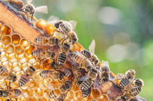Honey Bees On Honeycomb In Api...