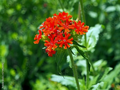 bright red flower with buds in the shape of a ball with the name lychnis Maltese cross