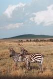Fototapeta Sawanna - Zebras in Africa