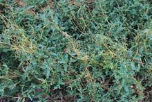Cuscuta, Dodder, Parasitic Plant On The Grass