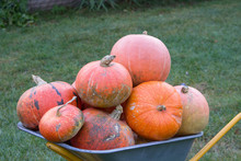 A Bunch Of Pumpkin On A Halloween,A Full Carriage Of Large Pumpkins Has Harvested In The Fall