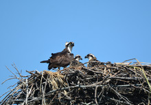 Nesting Osprey With Young