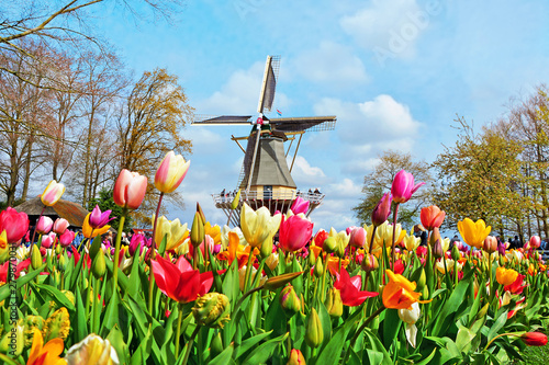 Fotografiet Dutch windmill and colorful tulips in spring garden of flowers Keukenhof, Hollan