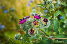 Close Up Of Greater Burdock, E...