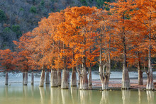 Beautiful Red Cypress Wood In ...