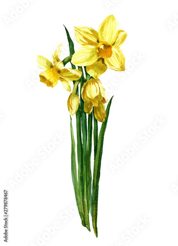 Watercolor yellow narcissus bouquet on a white background illustration Tableau sur Toile