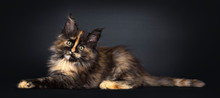 Incredible Patterned Tortie Ma...