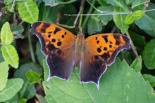 Butterfly 2019-75 / Question Mark Butterfly (Polygonia Interrogationis)