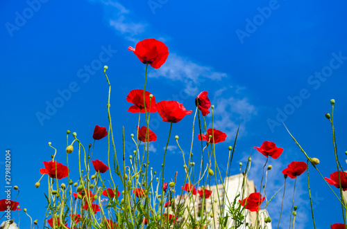 Poster Poppy Poppies in blossom against blue sky and a tall residential building