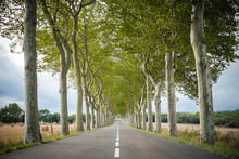 Plane Trees (Platanus ?? Acerifolia) Along Tree-lined Highway, Aude Department, Languedoc-Roussillon, France.