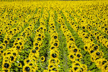 Field Of Giant Yellow Sunflowers In Full Bloom, Oraison, Alpes-de-Haute-Provence, Provence-Alpes-C?te D'Azur, France