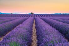 Rows Of Purple Lavender In Hei...