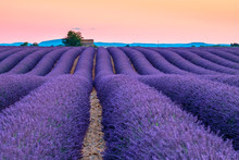 Rows Of Purple Lavender In Height Of Bloom In Early July In A Field On The Plateau De Valensole At Sunset, Near Valensole, Provence-Alpes-C?te D'Azur, France