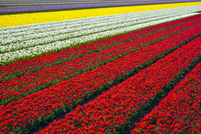 Netherlands, North Holland, Burgerbrug. Bright Red Tulip Field In Spring.
