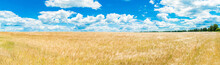 A Large Golden Wheat Field. Cumulus On A Clear Blue Sky. Green Forest On The Horizon. Beautiful Nature. The Concept Of Cleanliness. Natural Plants. Agricultural Business. Large Panorama.