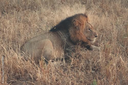 Alcateia de leões - Safári na Africa do Sul