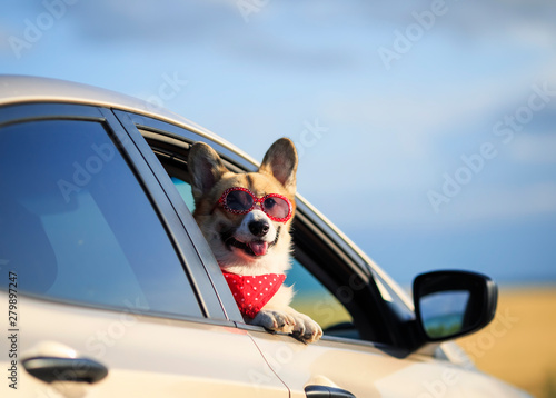 funny passenger puppy dog red Corgi in the sunscreen glasses pretty sticks out his face with his tongue sticking out of the car window during the trip - 279897247