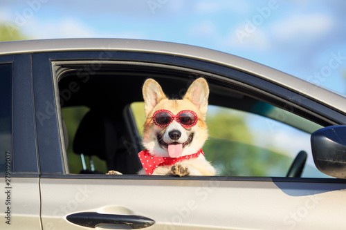 red corgi puppy dog in sunglasses, he stuck his pretty face out with his tongue and paws from the car window during mja suburban summer trip - 279899037