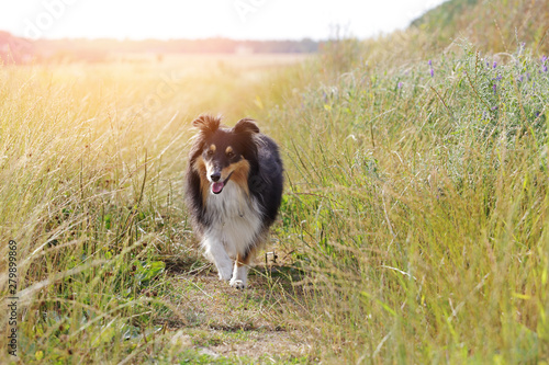 Canvas Print chien berger Shetland dans prairie