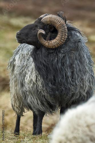 Pinturas sobre lienzo  A grey longhaired Gotland sheep on a meadow