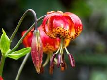 Tiger Lily (Lilium Lancifolium )