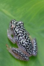 Reed Frog On Rainforest Leaf