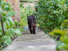 Old Rural Homeless Black Cat In Raspberry Bushes