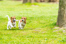 Two Jack Russell Terriers Play...