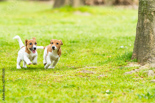 Two Jack Russell terriers playing Canvas Print