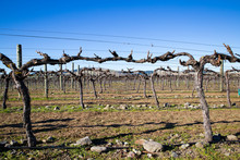 These Grape Vines Have Had Their Winter Prune And Are Tied Ready For The Next Year's Crop Of Grapes In A Vineyard In Canterbury, New Zealand