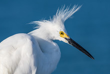 Snowy Egret Having A Bad Feather Day - Spiked Feathers