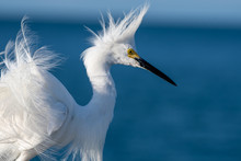 Snowy Egret With His Feathers ...
