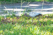 Young White Ibis Is Losing Its Brown Feathers And Turning White