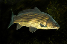 Common Carp Or European Carp (...