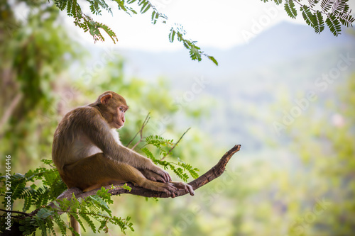 Male monkey sitting on a tamarin branch and mountain background. Canvas Print