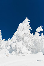 Very Heavy Snow On Tree In The Winter With Blue Sky